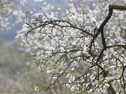 Contempler les pruniers en fleurs à Moc Chau
