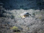 Le plateau de Moc Chau aux couleurs du printemps