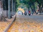 La beauté poétique de Hanoï à la saison de la chute des feuilles de pancovier