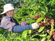 Café : les exportations établissent un record