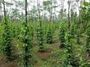 L'Association mondiale du poivre étudie le marché vietnamien