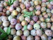 Signes positifs pour l'exportation de prunes de Son La