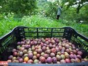 Les arbres fruitiers des zones tempérées, l'avantage compétitif de Son La