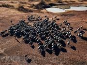 Admirez la beauté de centaines de buffles dans la région du lac Suoi Da