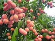 """Les producteurs de litchis """"thieu"""" de Bac Giang cherchent à mieux exporter"""