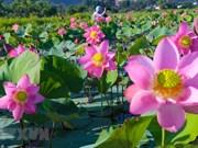 S'immerger dans la beauté pittoresque des fleurs de lotus au cœur de la ville de Da Nang