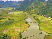 La saison du riz mûr à Cao Bang