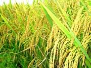 Il est nécessaire  de développer les chaînes de valeur de riz