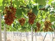 L'expérience viticole de Ninh Thuân attire les visiteurs