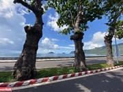 Des badamiers patrimoniaux sur l'île de Côn Dao