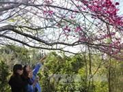 """Bientôt l'événement """"Fleurs de cerisier - Pa Khoang - Dien Bien 2019"""""""