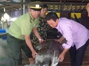 Ca Mau : une tortue imbriquée rendue à la nature