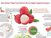 """Des litchis """"thieu"""" du district de Luc Ngan rapportent gros"""