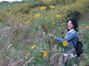 Fête des fleurs de tournesol sauvage de Chu Dang Ya