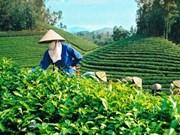 Instauration de marques pour le thé vietnamien