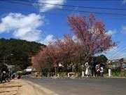 Les cerisiers illuminent la ville de Da Lat