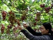 L'expérience viticole de Ninh Thuan attire des visiteurs