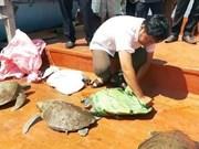 Relâcher des tortues rares dans la nature