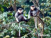 Les primates rares à Da Nang font face à de sérieuses difficultés