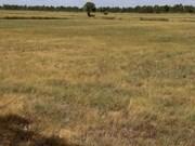Thaïlande : la sécheresse frappe le secteur du riz