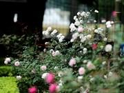 Roses en pleine floraison à la citadelle impériale de Thang Long