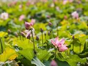 Les étangs de lotus, un point phare du tourisme culturel au pays natal de l'Oncle Hô