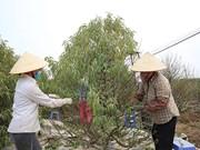 Les producteurs de pêchers de Nhât Tân se préparent pour le Nouvel An lunaire 2021