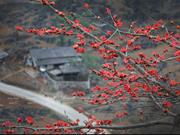 Saison des fleurs du bombax ceiba (hoa gao) sur le plateau rocheux de Ha Giang