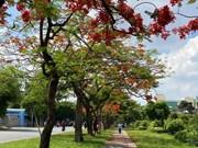 Les rues embellies par la floraison des flamboyants