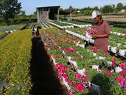 Les villages de fleurs se précipitent à l'approche du Têt du Cochon 2019