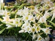 Le lys blanc, symbole du mois d'avril à Hanoï