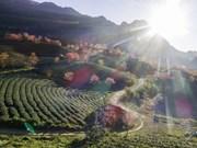 Floraison des cerisiers sur les collines de thé à Sapa