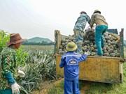 Le processus de transformation d'ananas à la ferme Dong Giao