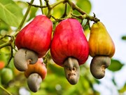 T&T prévoit de construire une usine de noix de cajou en Côte d'Ivoire