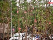 Une rue bordée d'abondantes fleurs de pêcher annonce l'approche du Têt