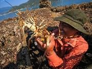 À Phu Yên, l'élevage de homards rapporte gros