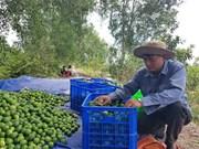 La lime du Vietnam à la conquête du marché japonais