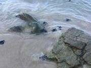 Les tortues marines bénéficient d'un coup de pouce salvateu
