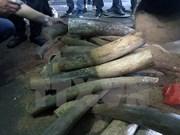 Saisie de défenses d'éléphants à l'aéroport de Noi Bai