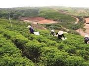 À Lâm Dông, la restructuration agricole ranime la commune de Lôc Bao