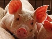 Renforcement des mesures de prévention de la peste porcine africaine
