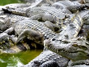 Constitution de marques pour augmenter les exportations de crocodiles