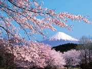 La fête des fleurs de cerisier Japon – Hanoï 2019 prévue fin mars