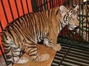 La criminalité liée aux espèces sauvages remet en cause les efforts de conservation du tigre du VN