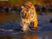 Efforts communs pour les tigres vietnamiens
