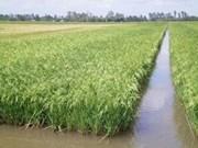 Riziculture : aide vietnamienne pour Cuba