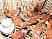 Hanoi: le projet VAHIP contribue à maîtriser la grippe aviaire
