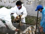Risque d'explosion d'une épidémie de grippe aviaire dans l'ensemble du pays