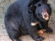 Au parc de Cat Tiên, plans bien léchés pour les ours