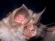 Une espèce rare de chauve-souris découverte à Quang Binh